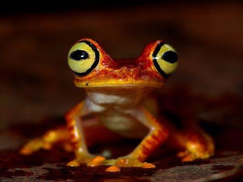 Hypsiboas picturatus - Imbabura Treefrog