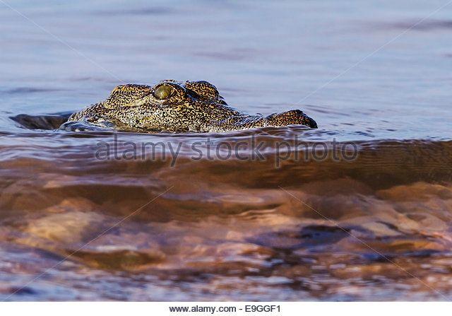 Close-up of Nile crocodile (Crocodylus niloticus) - Imagen de archivo