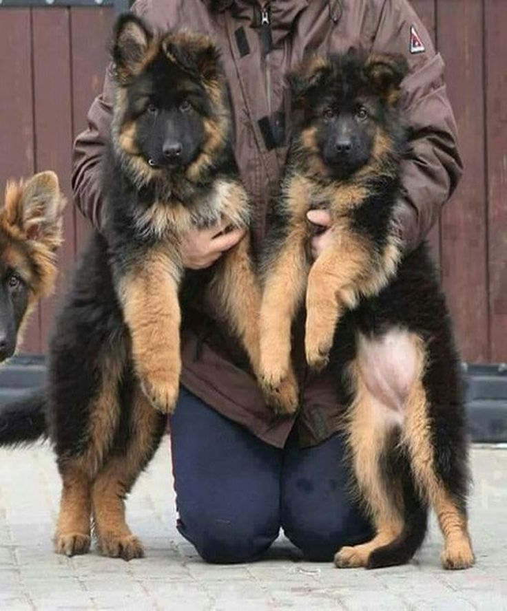 Pin by Brenda Alford on My love for German Shepard Dogs