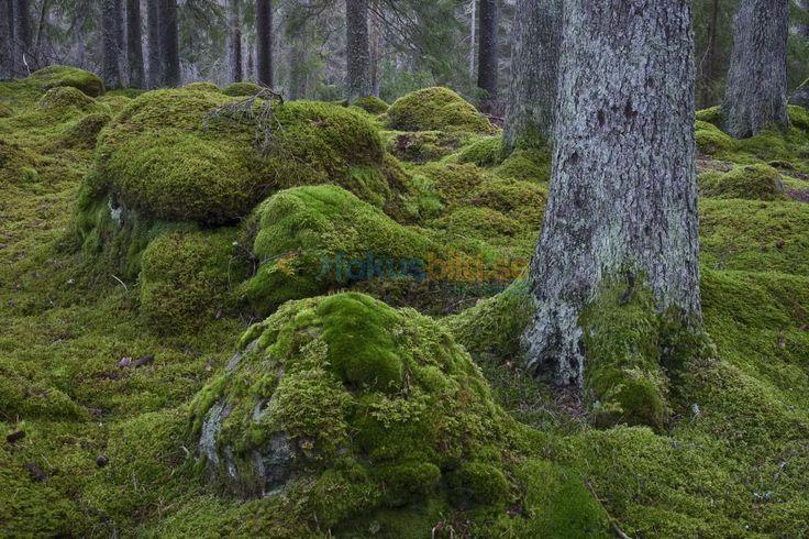 Granskog med grön mossa