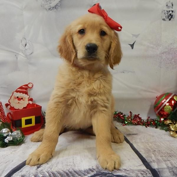golden retriever puppies for sale in illinois 25 best ideas about puppies for sale chicago on pinterest 1811