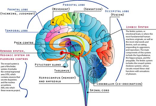 Essay on Human Brain: Structure and Function