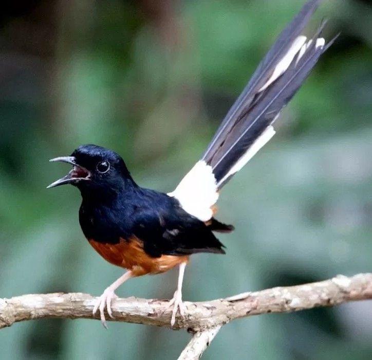 Pin Oleh Doni Septianto Di Decal Burung Murai Hewan