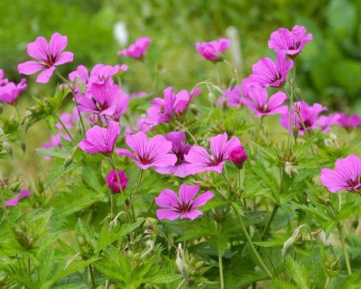 Die besten 25+ Geranium patricia Ideen auf Pinterest   Winterharte ...