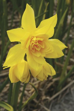 8 best narcissus images on pinterest daffodils daffodil bulbs and odorus plenus the queen annes double jonquil this is the variable double form of the above sometimes it double resembling a yellow rose other times mightylinksfo