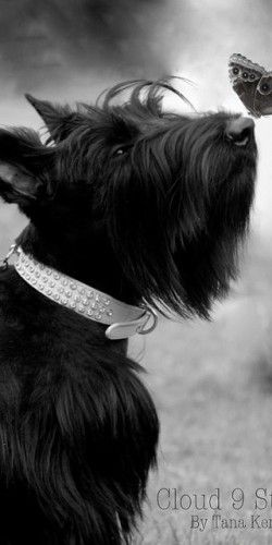 Black - Scottie - A forgotten breed?