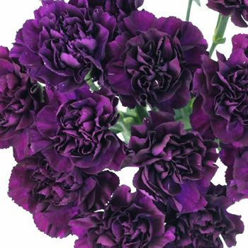 Bulk Blackish Purple Carnation Flowers are a traditional flower with a ruffled, ball-shaped bloom. Our award winning Carnation flower is shipped fresh and direct from our Ecuadorian or Colombian partner flower farms to your doorstep. FedEx shipping included in price!
