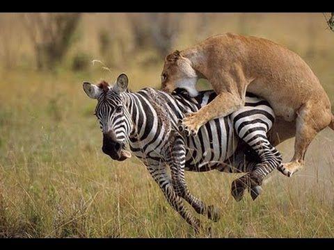 National Geographic - Wild Predators [HD Documentary] - http://movies.