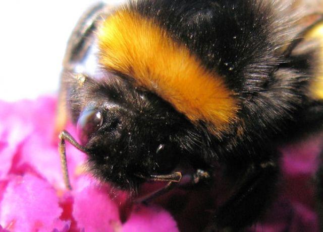 Photo : BOURDON,  Animaux, Macro, Insectes et arachnides, Allemagne, Abeilles, Bourdons, Aachen. Toutes les photos de Jo PE sur L'Internaute