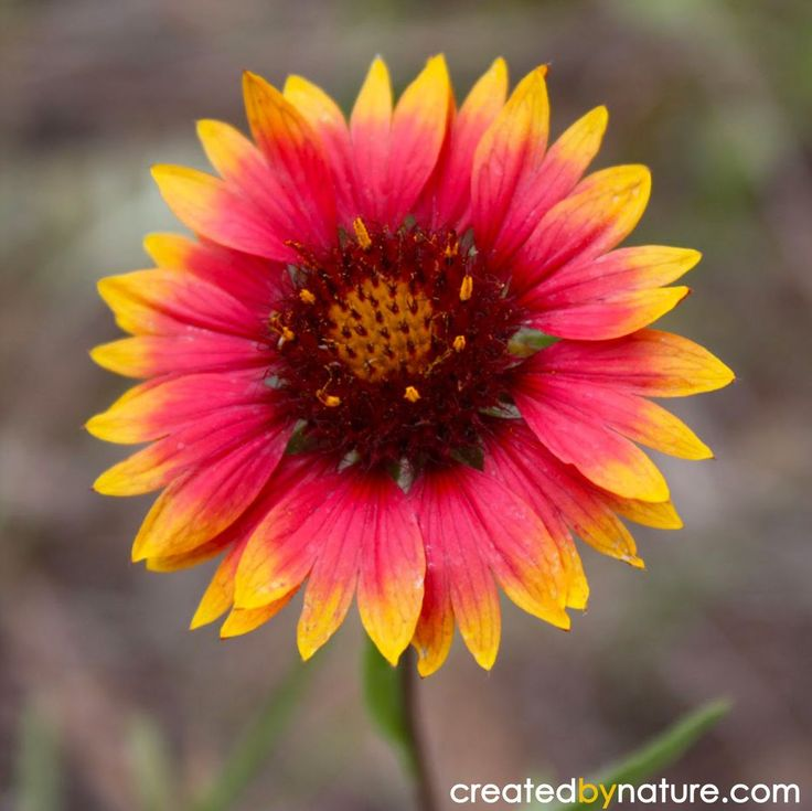 Indian Blanketflower (Gaillardia aristata) Named