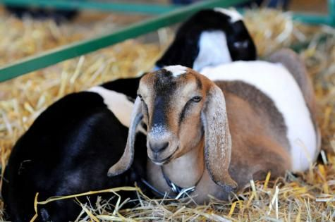 Goats | Topsfield Fair. Goat Show. I also like the Goats. especially the pygmy goats.