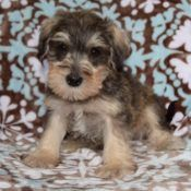 Pennsylvania Schnoodle puppies for Sale