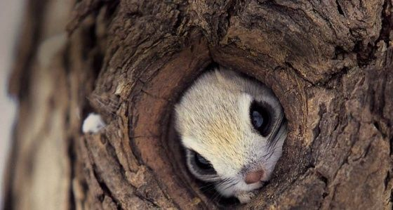 Come On! We're All Thinking It.Cute Animal, Trees Trunks, Animal Pictures, Fly Squirrels, Baby Squirrel, Peek A Boos, Sugar Gliders, Big Eye, Squirrels Hiding