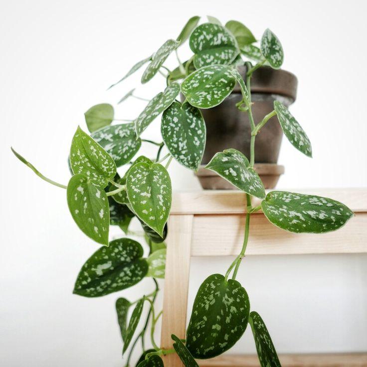 """Communément appelée la """"Misère"""" cette plante de la famille des lianes pousse comme de la mauvaise herbe! Encore une plante facile à entretenir don't vous trouverez une description plus détaillée sur mon blog:"""