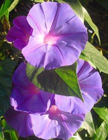 Trepadeiras Silvestres | Preço por unidade: 0,50€ | Referência: F002 | Mais informações em: http://biokafs-agro.weebly.com/flores.html