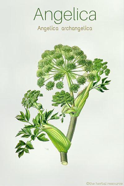 Medicinal herb Angelica archangelica