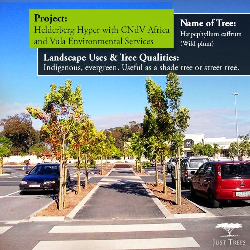 Today we're looking at these Harpephyllum caffrum trees planted at the Helderberg Hyper back in 2014 with Landscape Architect CNdV Africa and Vula Environmental Services. These indigenous evergreens will provide shade for the parking lot all year round. Trees in parking lots dramatically reduce heat in the car and cooler cars produce less pollution. Here these trees work as excellent shade trees, absorbing the heat from the surrounding tarmac, as well as beautifying the area.