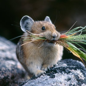 Pika with harvest  ~photo by James R Page @http://500px.com