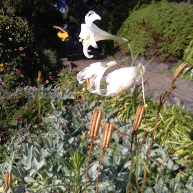 Dancing flowers in the wind in the Lake House garden. #mostromantic #sun #winter #nz #vintage #garden #outdoors