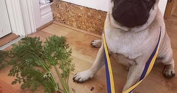 #Woof: #Repost @kjelleddie I entered a gardening competition today and can you believe it. I won first price! #crazypants #dog #dogs #dogoftheday #dogsofinstagram #dogstagram #pug #pugs #pugstagram #pugsofinstagram #pugsnotdrugs #pets #petstagram #animals #obsessedwithpugs #darklordpug #squishyfacecrew #flatnosedogsociety #garden #carrots #competition #nr1 #winner #perfect #cute #love #barkhappy #food http://ift.tt/2wzmAqF http://ift.tt/2eFxuoR