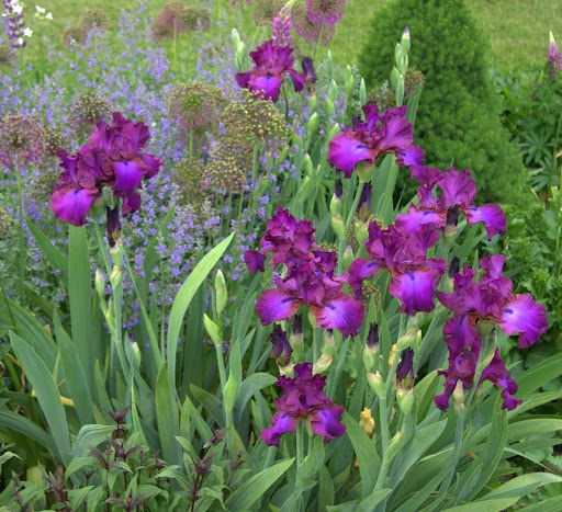 Iris Quot Gypsy Romance Quot My Favorite This Is Not Photoshop
