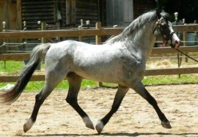 RosMel's Notorious    Welsh Pony, Stallion