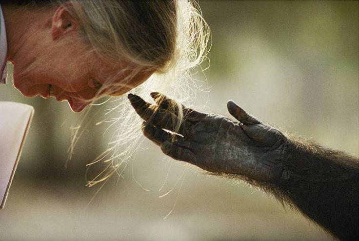 Jou Jou the chimp touches Jane Goodall's head