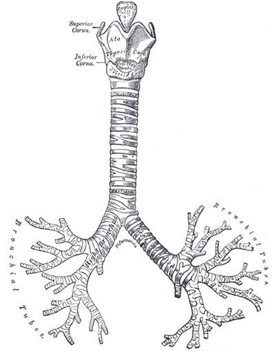 The Trachea and Bronchi - Human Anatomy