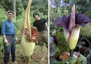The Titan Arum is taller than a man, and stinks of rotting flesh. It gets it's nickname (Corpse/Carrion Flower) from the stench it gives off, which smells like rotten mammal. Think roadkill and you'll have a good idea of what this flower smells like. It looks impressive though!