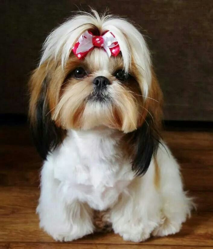 haircuts for shih tzu dogs 150 best images about shih tzus on 4429