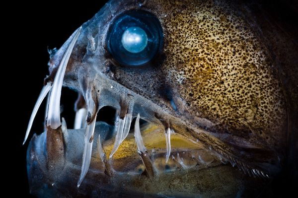 Viperfish livein the deepest tropical ocean in the day time and at night time they come up to the shallow water.