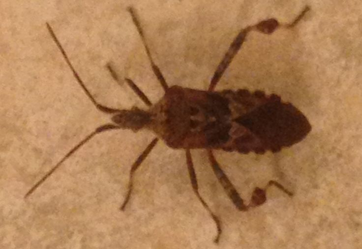 Western Conifer Seed Bug found in home - What's That Bug?