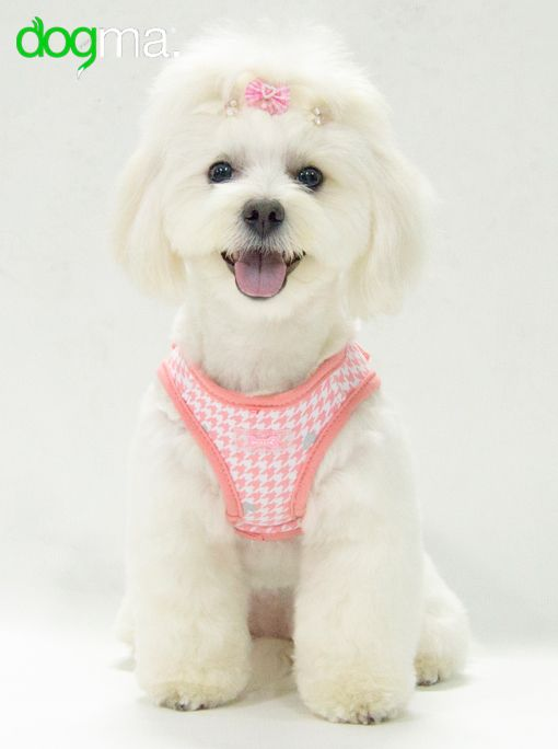bichon se usa - photo #15