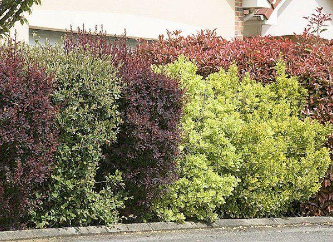 Las 25 mejores ideas sobre plantas para cercos en for Arbustos de jardin nombres