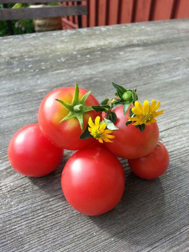 De första solvarma tomaterna från mitt växthus
