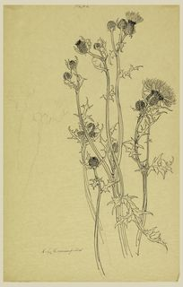 Drawing, Study of Thistle Plants, early 20th century | Objects | Collection of Cooper Hewitt, Smithsonian Design Museum
