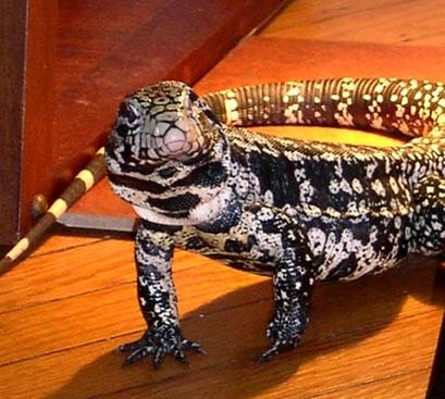 Will have a tegu one day!!!*