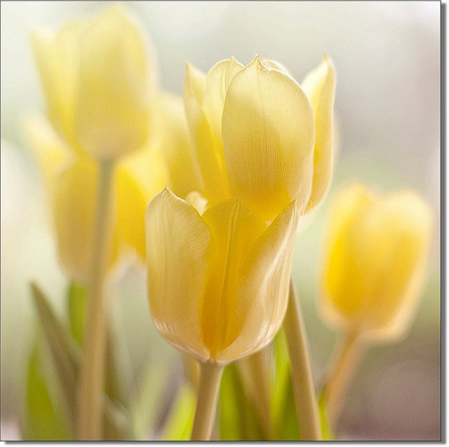 Free Wallpapers Wid Quotes Best 25 Yellow Tulips Ideas On Pinterest Tulips Flowers