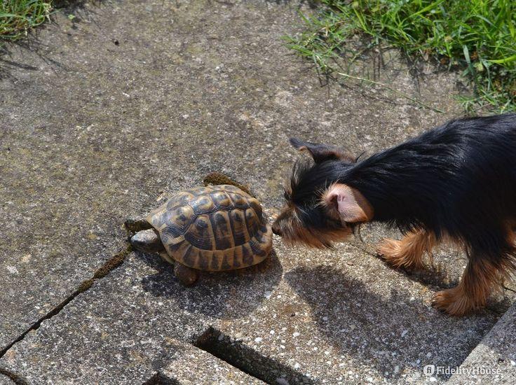 """Lessie e Trudy, nomi di fantasia per due animali così diversi eppure così """"vicini"""": il cane e la tartaruga."""