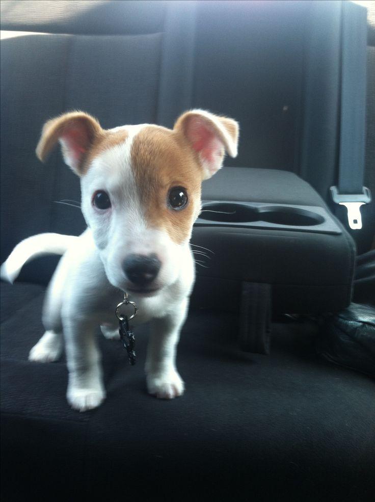 Jack Russell terrier puppy. Big head