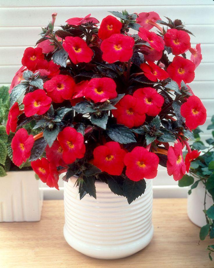 Mustanmerenruusu punainen