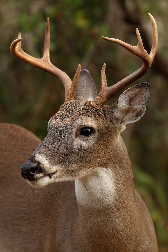 Howard Cheek Photography: The white-tailed deer is tan or brown in the summer and grayish brown in winter. It has white on its throat, around its eyes and nose,  on its stomach and on the underside of its tail.