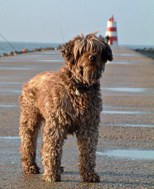 A Portugese Water Dog at the seashore - Tap the pin for the most adorable pawtastic fur baby apparel! You'll love the dog clothes and cat clothes! <3