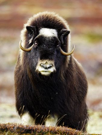 Musk Ox, Portrait of Adult Female on Tundra, Norway Impressão fotográfica por Mark Hamblin na AllPosters.com.br
