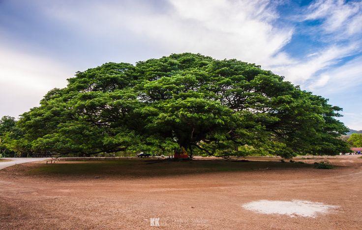 The Hundread Years Giant Samanea Saman in Kanchanaburi thailand, One of the biggest tree