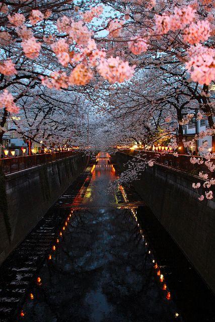 Cherry Blossom River, Kyoto, Japan.