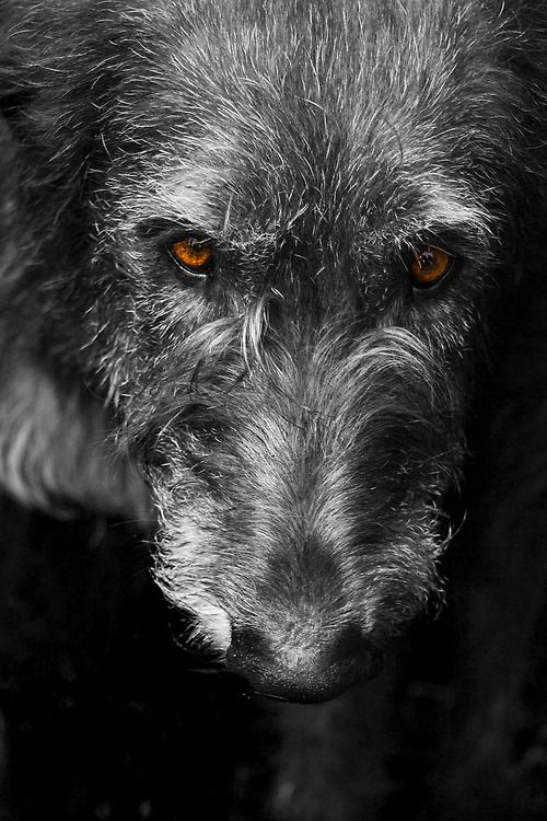 Irish Wolfhound <3 when I have a big yard I will have one someday