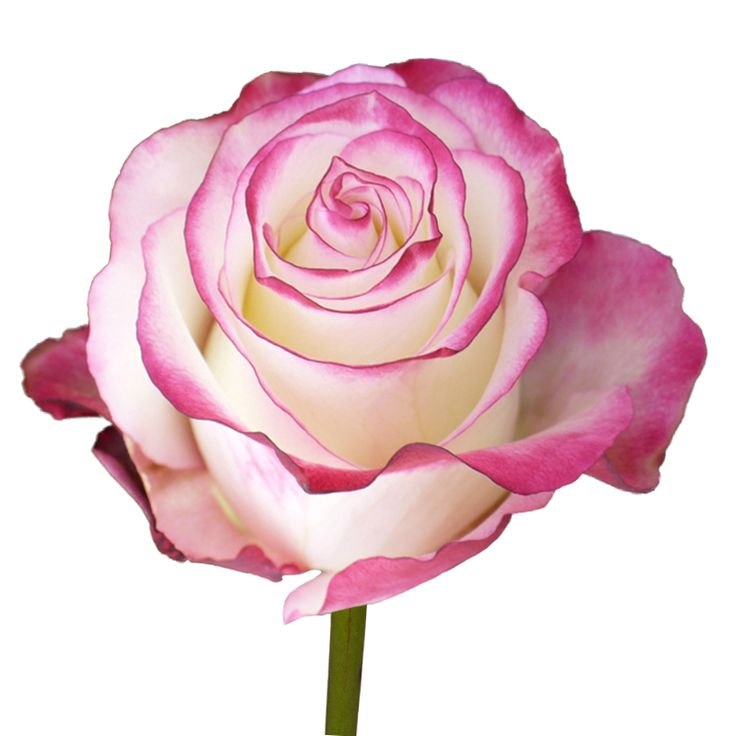 1000 Images About Bi Color Pink Roses On Pinterest