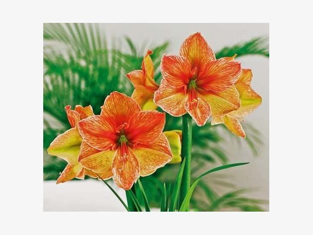 Die Amaryllis, auch Ritterstern genannt, ist  eine subtropische Zwiebelblume und braucht eine sehr spezielle Pflege, damit sie jedes Jahr zu Weihnachten ihre prächtigen Blüten öffnet.