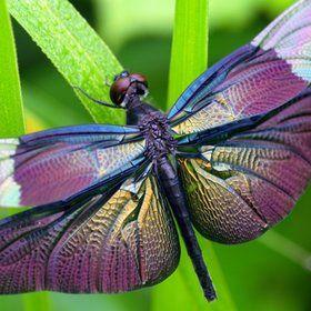 Dragonflies:  Beautiful Butterfly dragonfly (Rhyothemis fuliginosa.